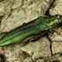 Emerald ash borer hits Elk Grove Village