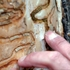 U.S. survey helps shed light on ash borer