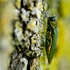 Carol Stream's ash borer fight gets more expensive