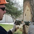 Evidence of destructive emerald ash borer increases