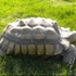 45-pound tortoise missing in Lombard