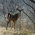 DuPage to test for deer-killing disease