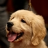 Lifestyle, pop culture drive dog breed popularity
