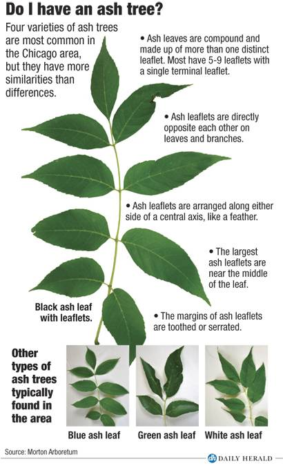 How to recognize an ash tree