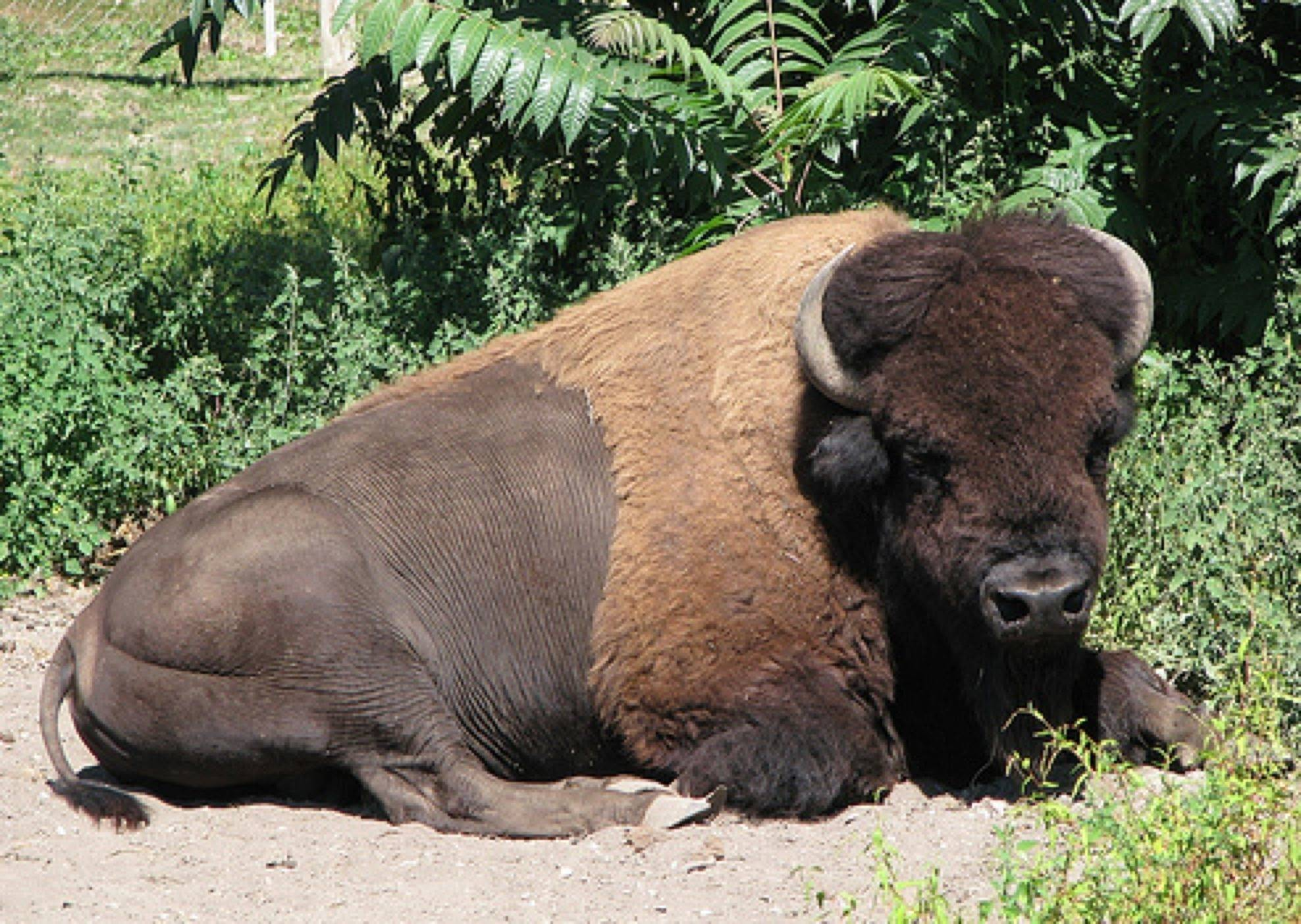 Dakota relaxes inside the bison pen at Lords Park Zoo in Elgin last summer. He died over the Christmas holiday weekend of complications stemming from pneumonia.