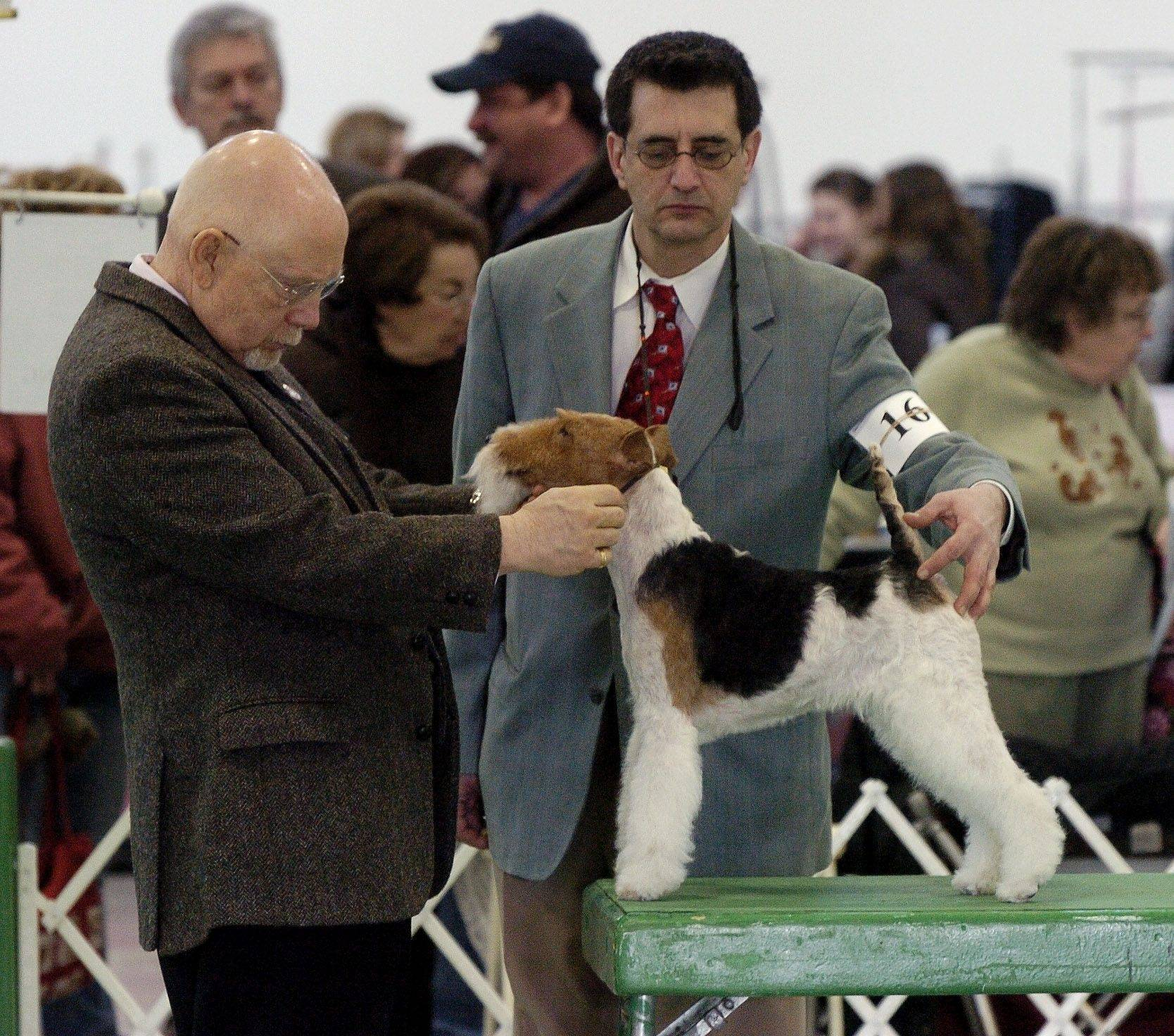 "AKC judge Bill Potter looks over Wire Fox Terrier ""Stell"" as professional handler Carlos Puig of Round Lake looks on, during the Chain O' Lakes Kennel Club all breed dog show at the Lake County Fair grounds in Grayslake."