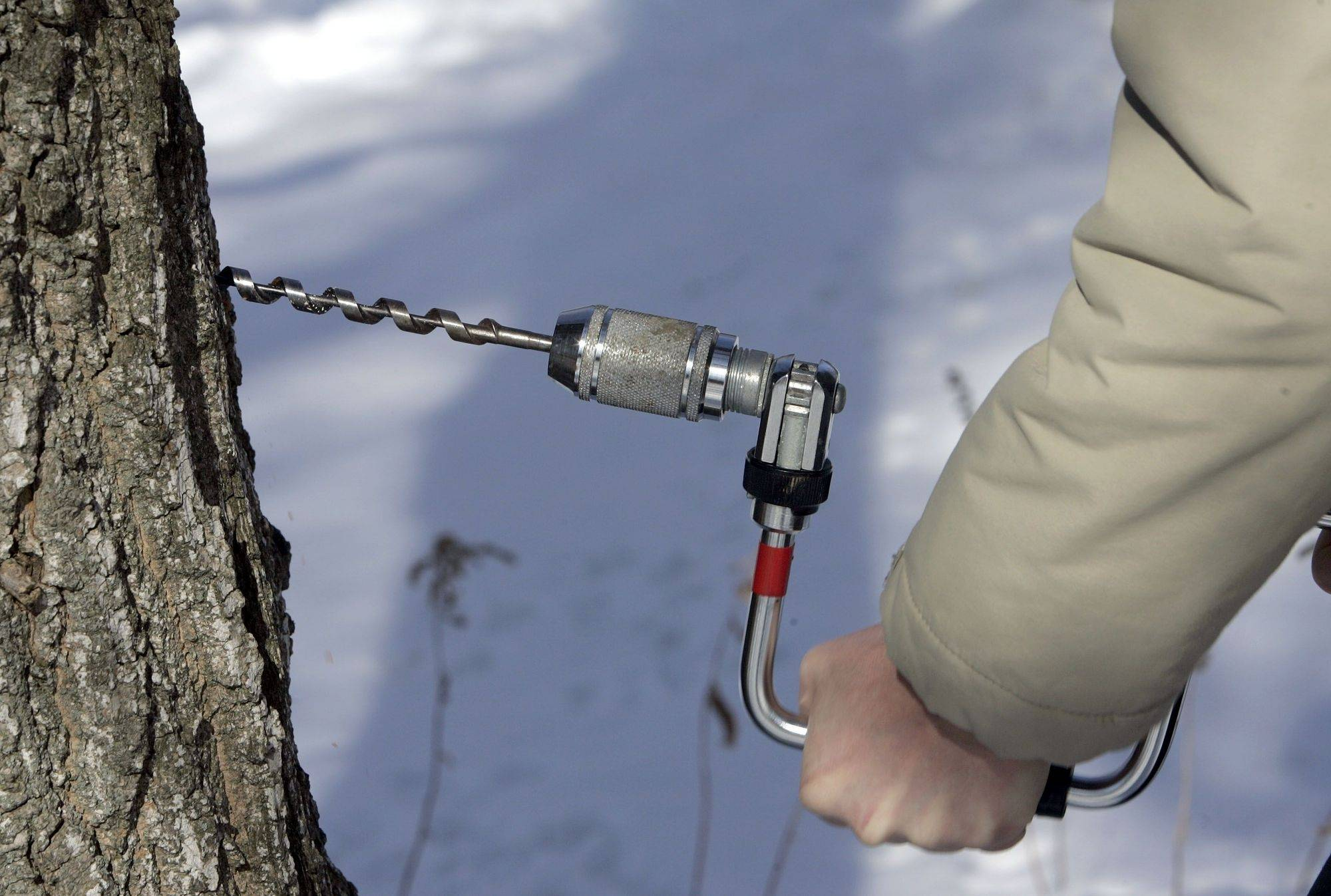 Tapping can be done without harming the tree if you pick a large, healthy tree and are careful about how deep you drill.