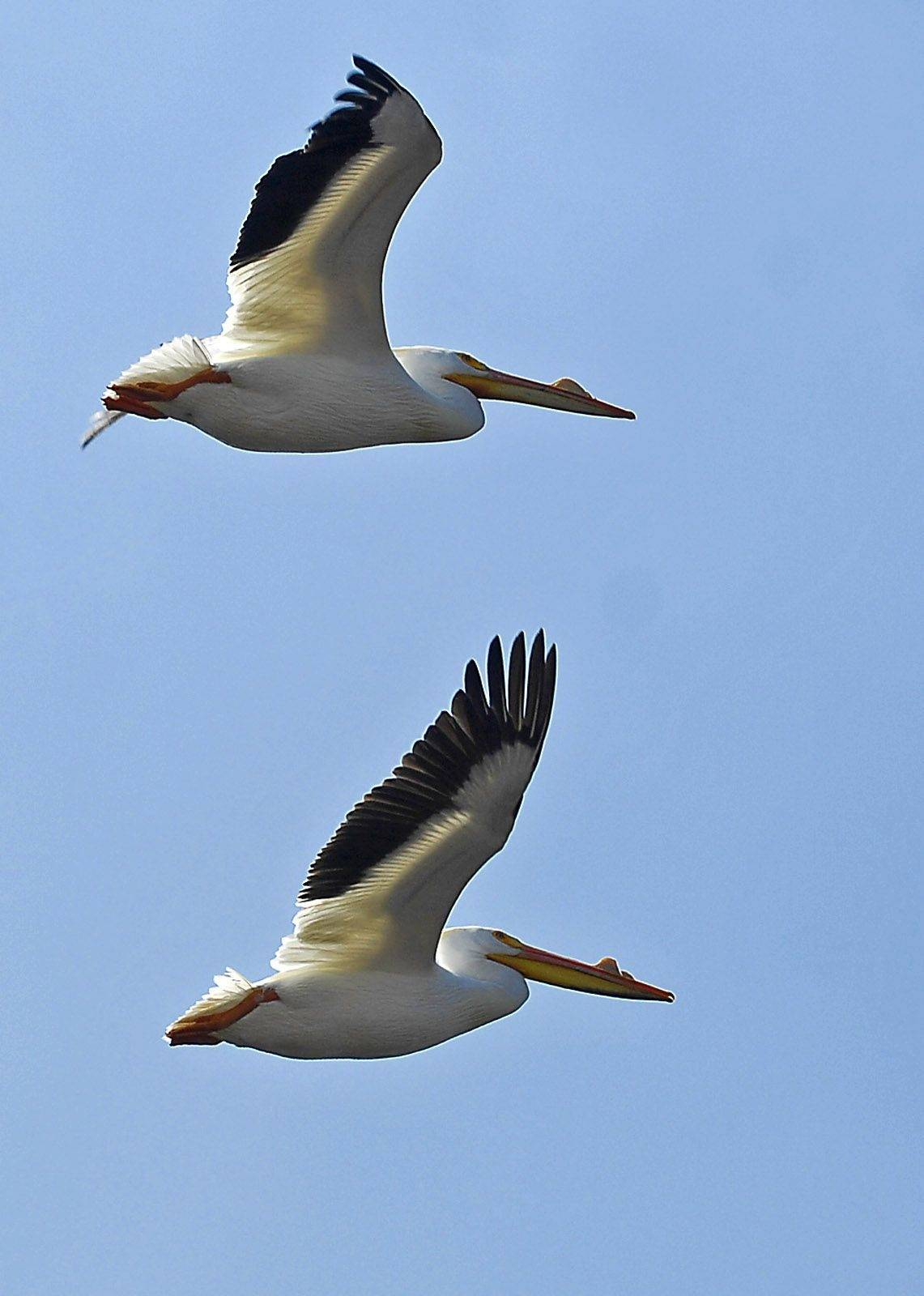A pair of pelicans flies just overhead Monday near Nelson Lake at the Dick Young Forest Preserve in Batavia. The first pelicans of the season arrived on their migration pattern March 19.