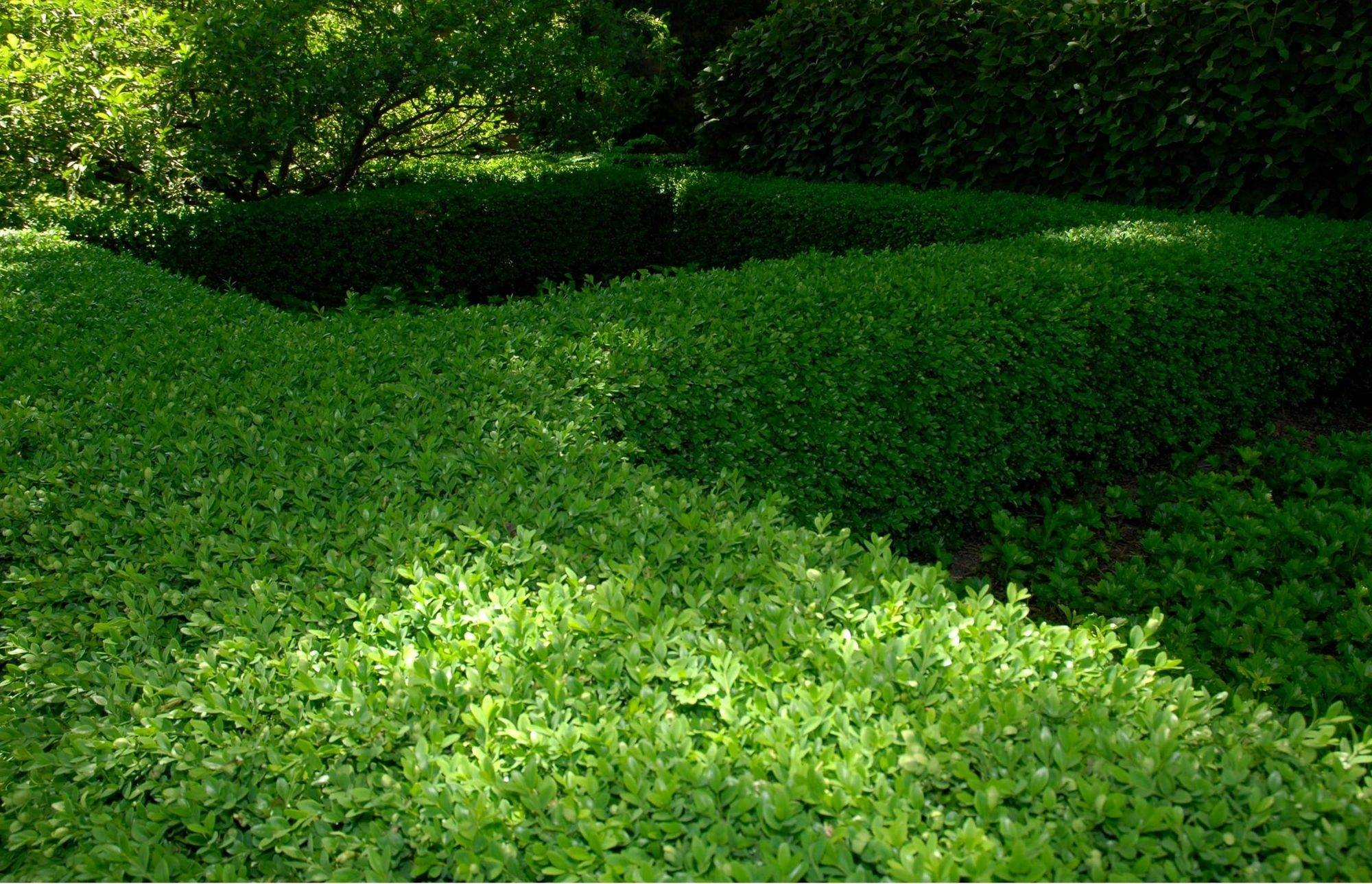 Each spring, prune out winter damage to your evergreen shrubs, such as this boxwood hedge.