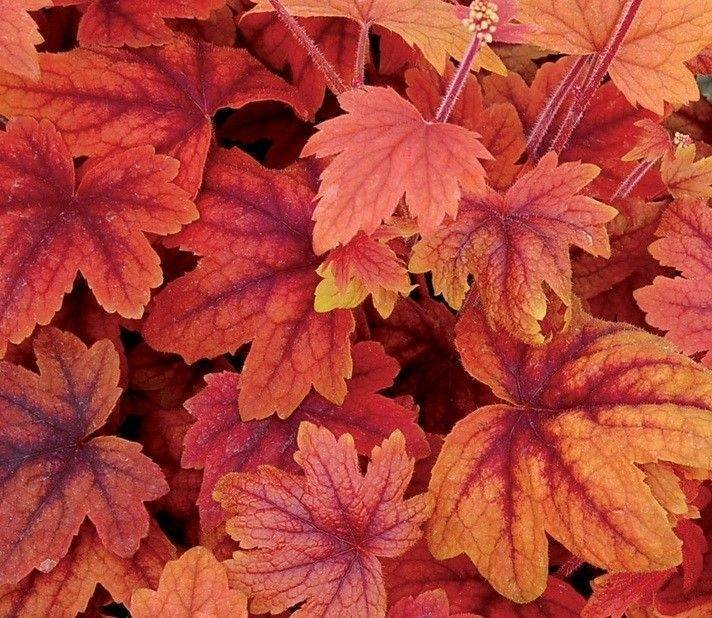 Heucherella Sweet Tea, with its coppery orange leaves, adds a punch of color to containers.