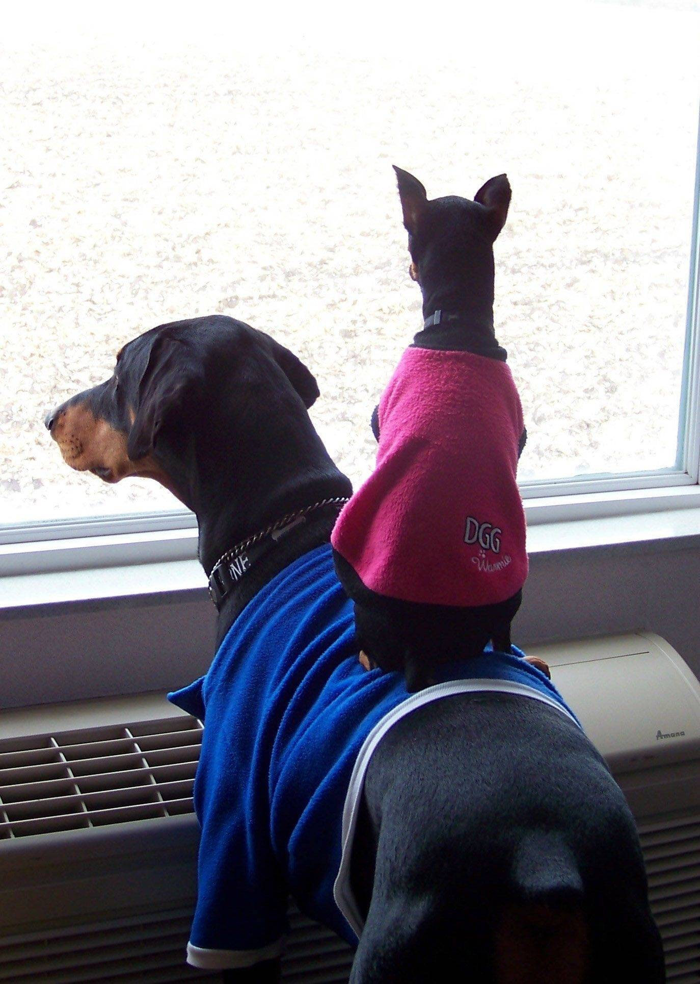 Duchess, a mini pinscher, takes advantage of a higher perch on Duke, a Doberman pinscher, while they look out a hotel room window in Mendota, IL.