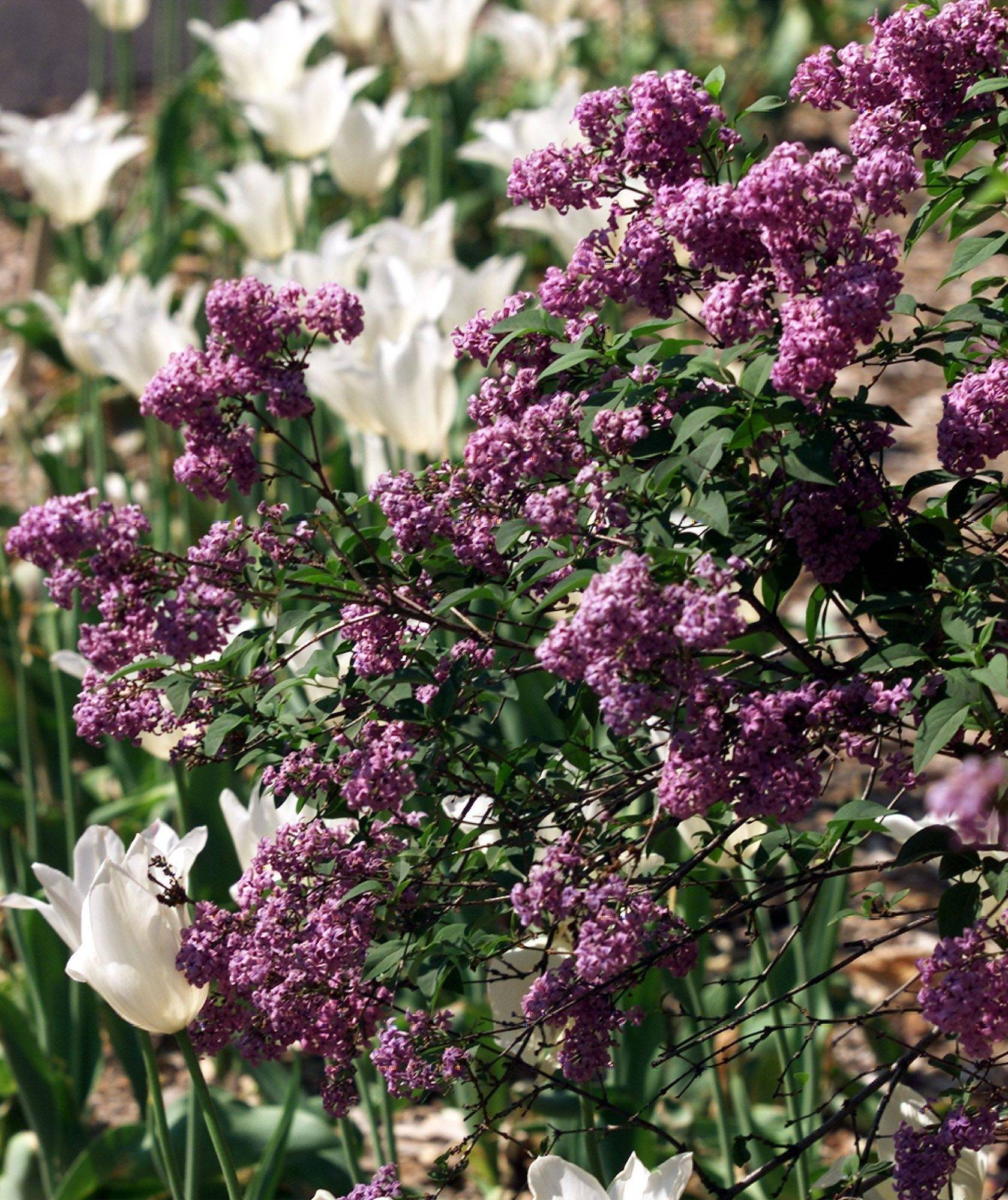 Lilac Time opens this weekend in Lombard.