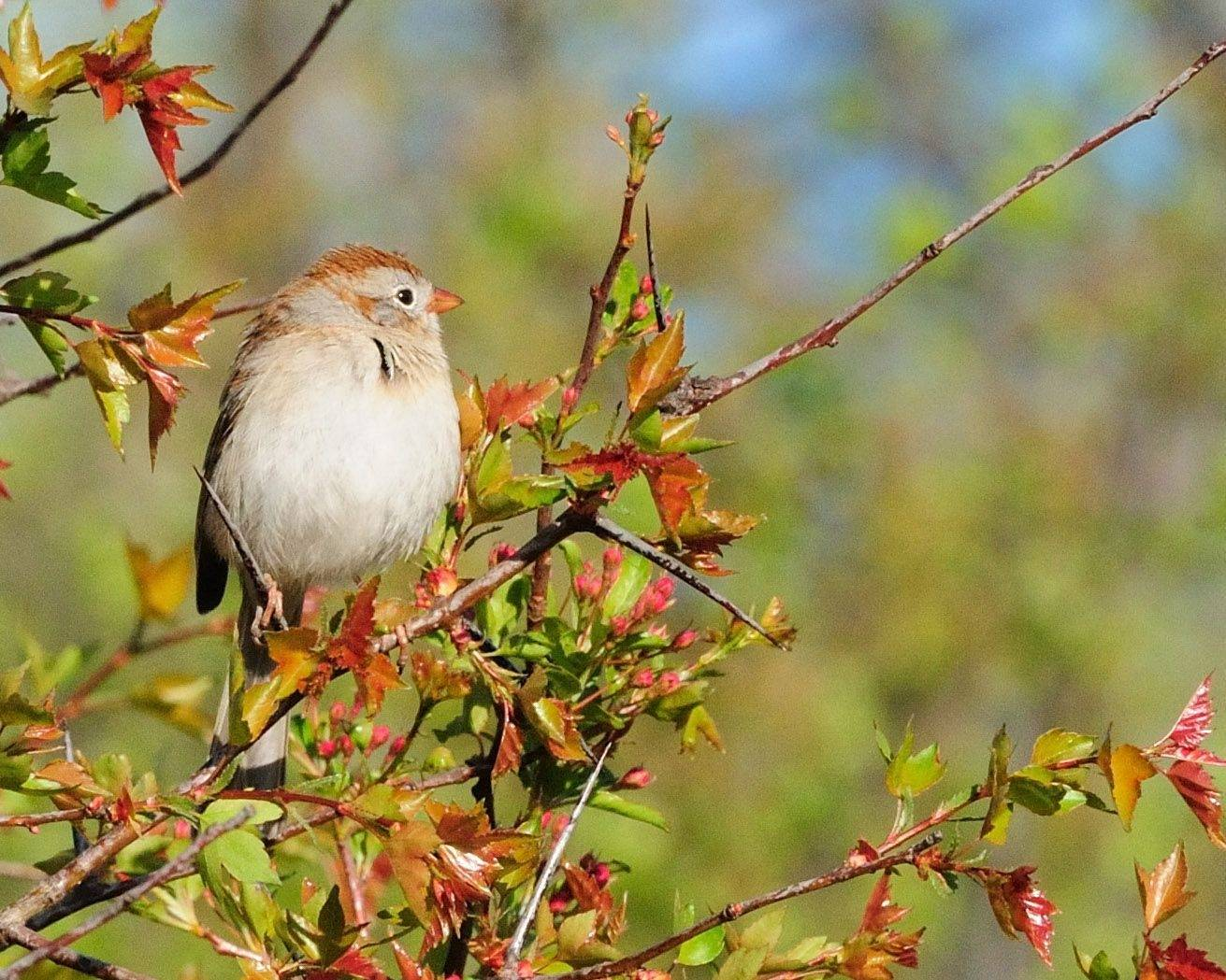 A sparrow sits on a branch as the trees began to bud in Hoffman Estates last month.