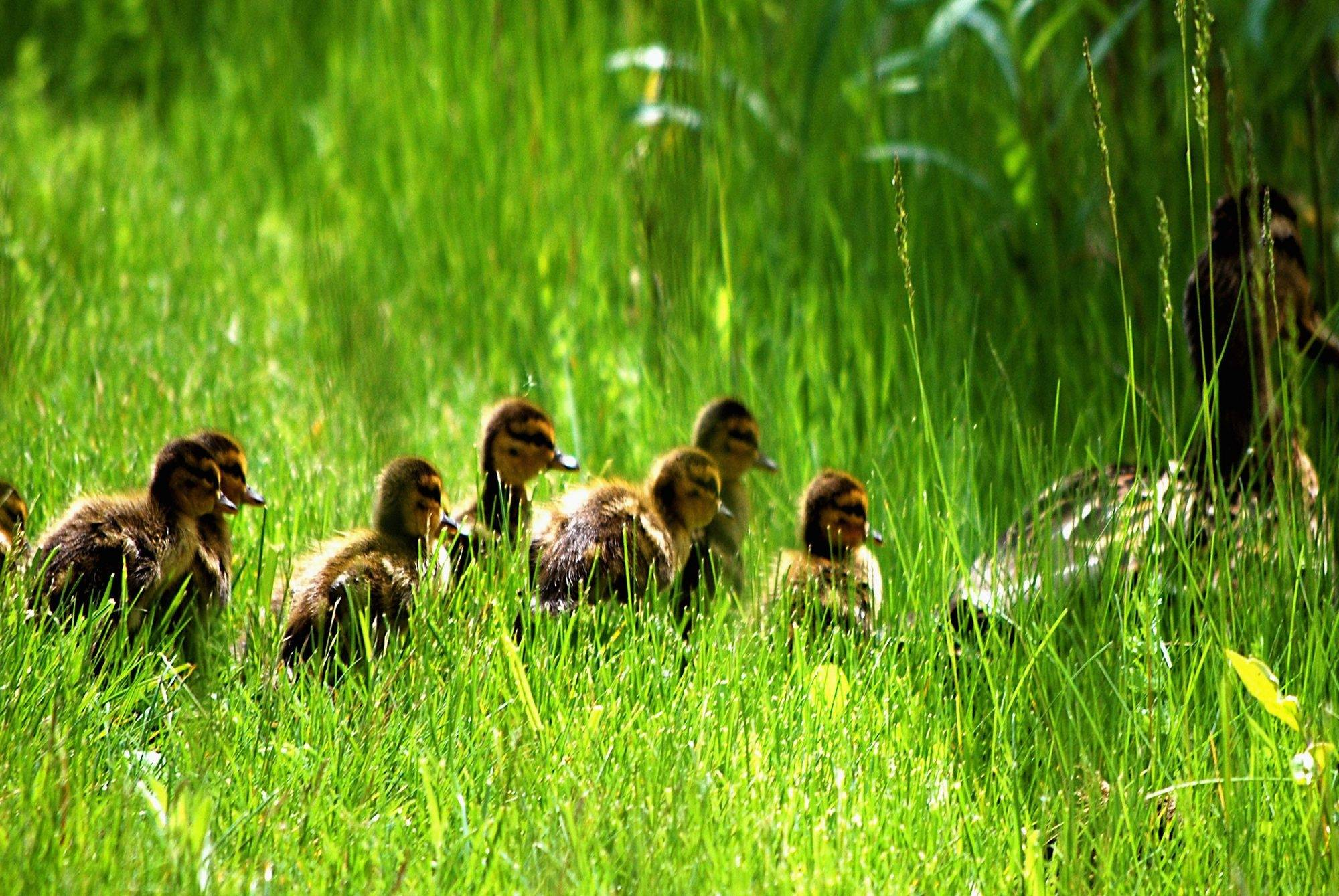 This picture shows several ducklings following their mother into a hawk-free zone.