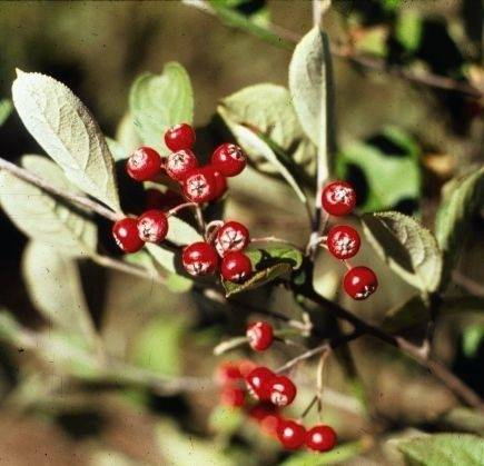 Chokeberry is credited with reducing abdominal fat, lowering LDL bad cholesterol and protecting the body against the effects of pollution, reports the Sacramento Bee.