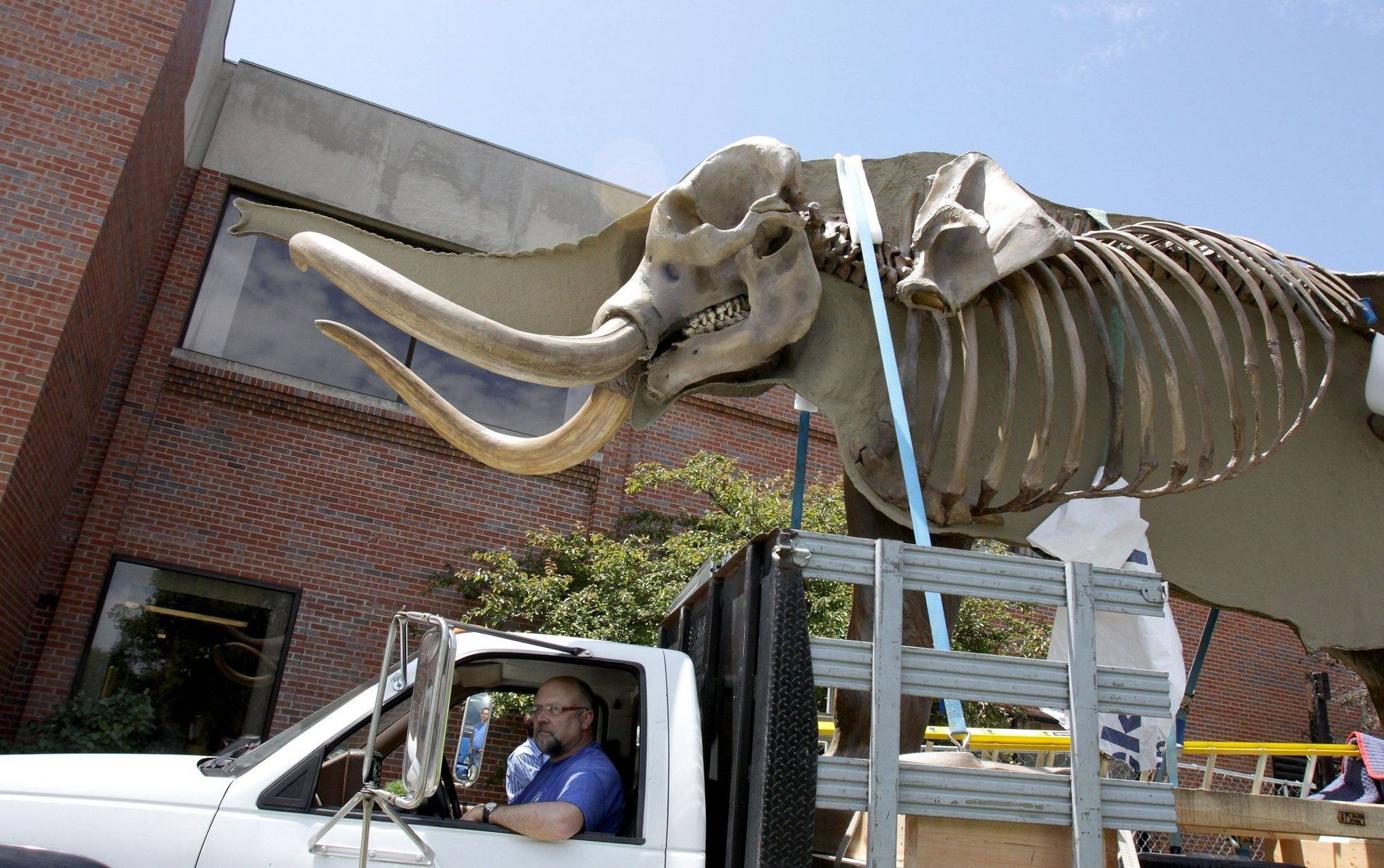 Perry, the Mastodon at Wheaton College, is moved on a flatbed truck to its new home in the new Science Center on Thursday.