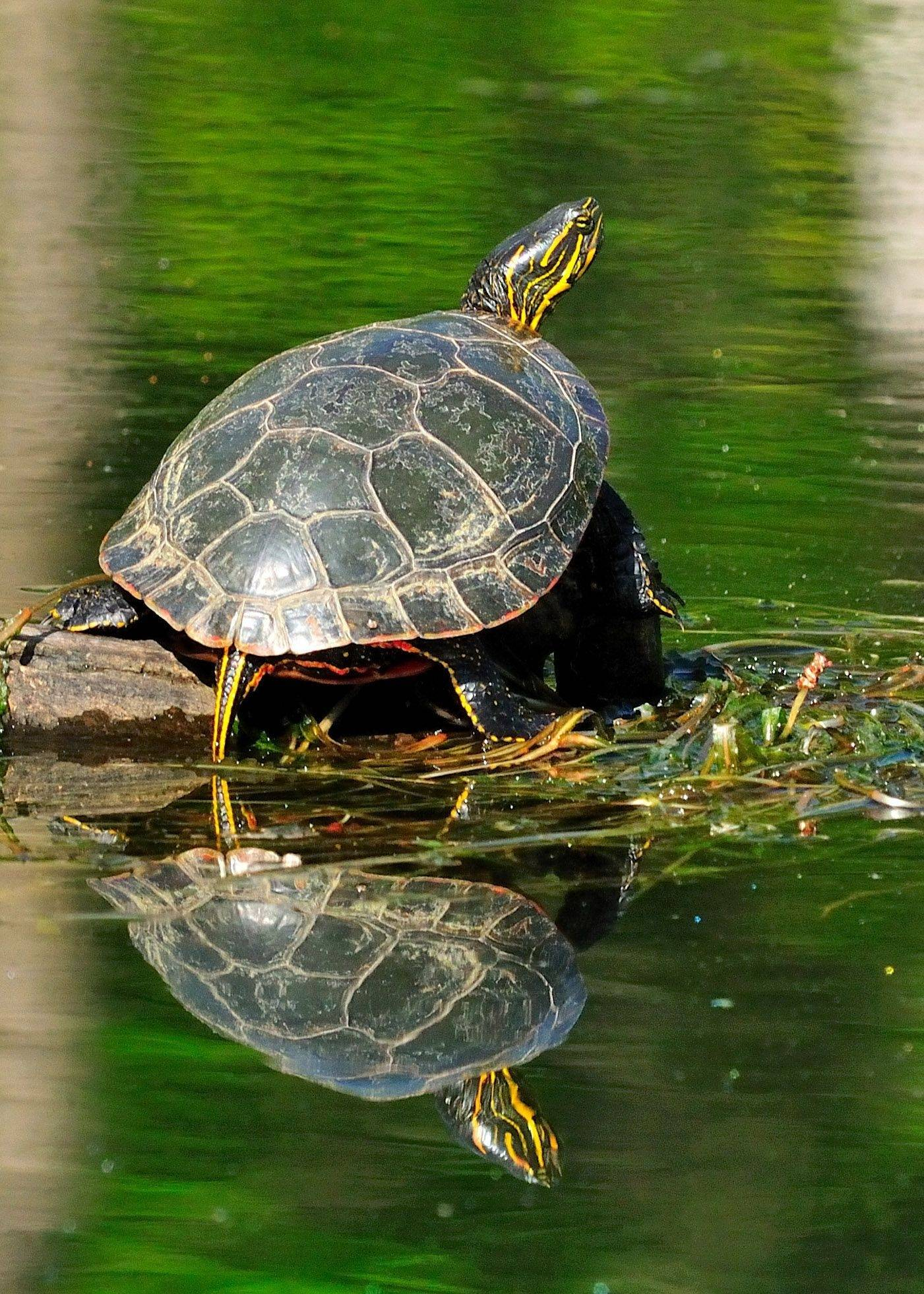 A turtle rests on a log this spring in a pond in western Illinois.
