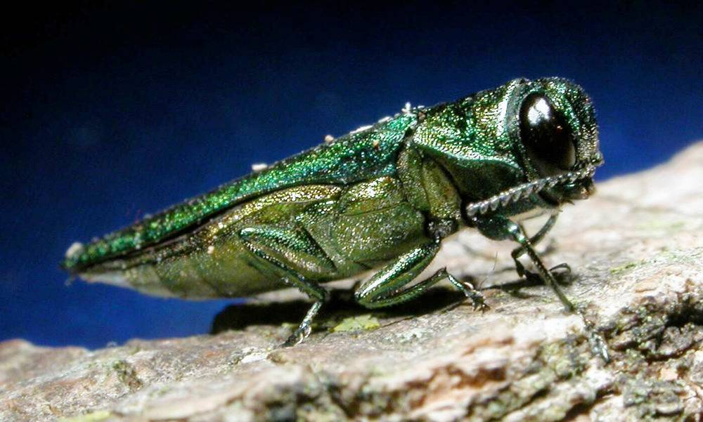 The emerald ash borer is highly destructive and tough to fight. It feeds on ash trees, eventually killing them.