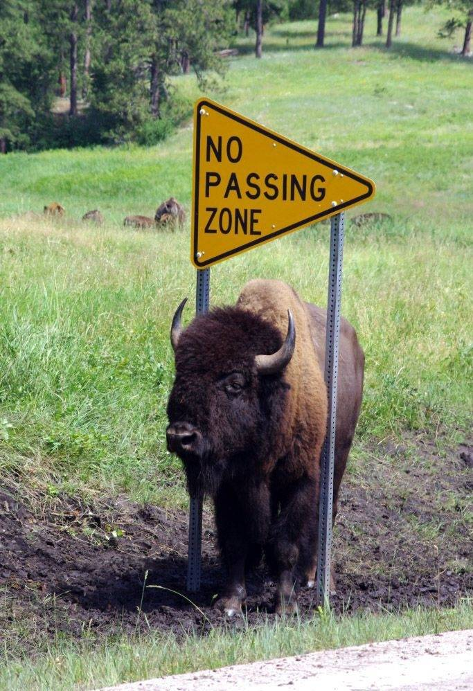Here's a picture I took last week at Custer State Park in South Dakota. I guess Mr. Buffalo was not taking the sign literally, or the state park has a strange way of enforcing their traffic laws.