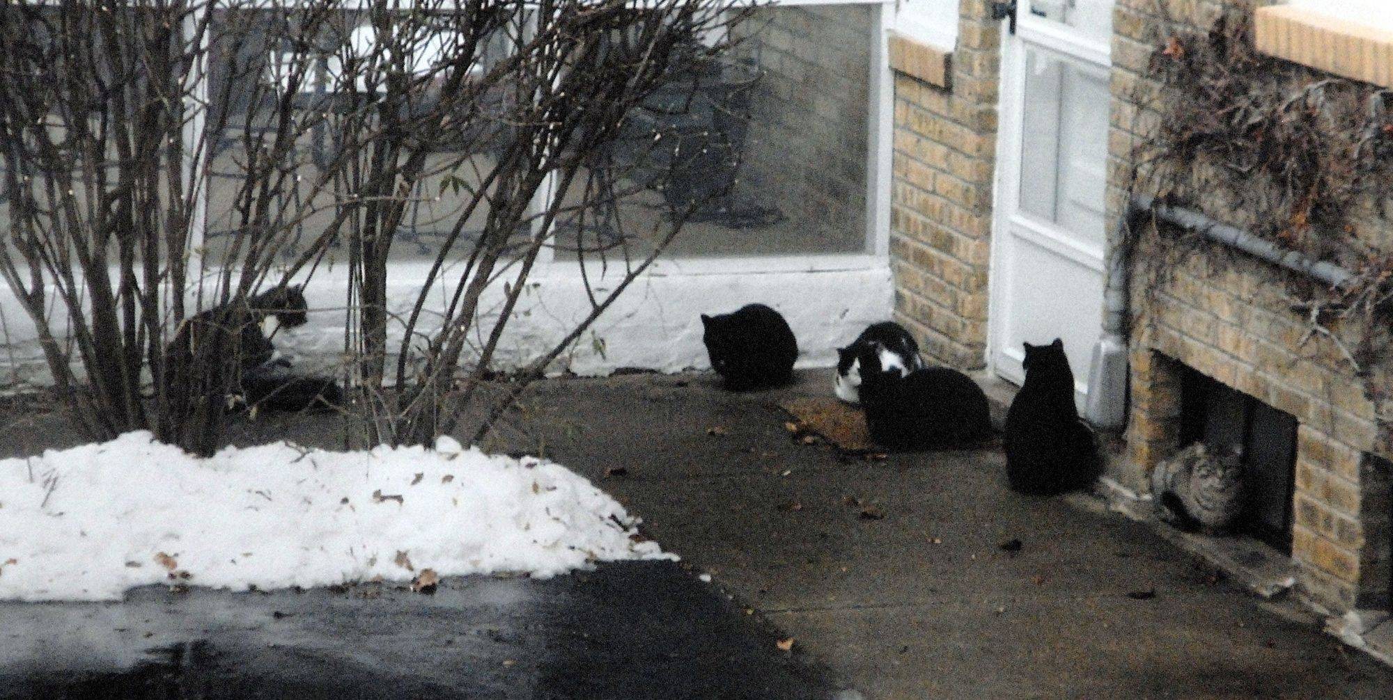 Mount Prospect's Lisa Pacini talked about her neighbor's feral cat colony in January, where as many as six cats waited for their next meal on her neighbor's sidewalk. She wants Mount Prospect to address the problem with stricter guidelines.