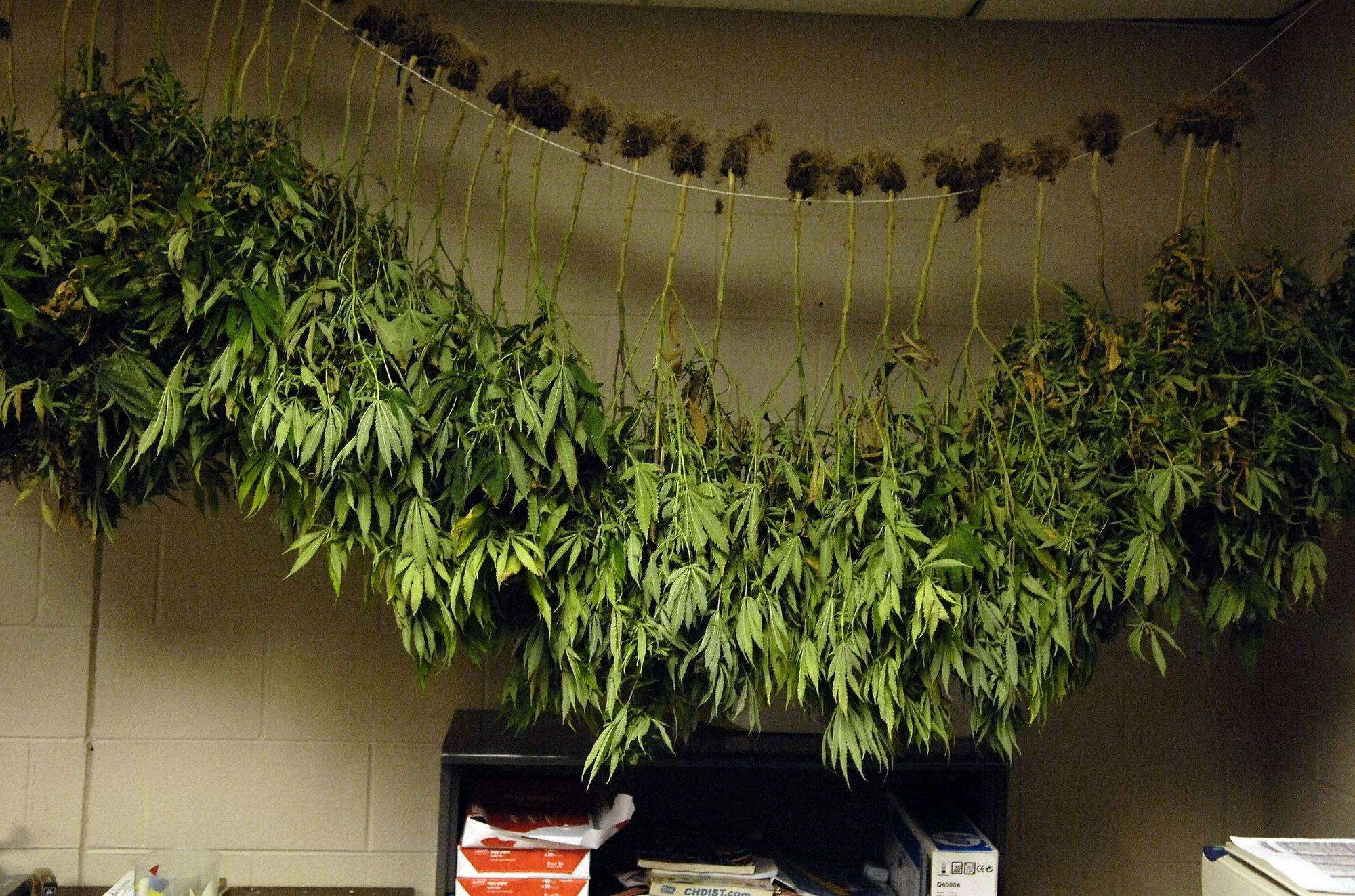Marijuana Plants Hang In A Spare Room Above Copier Paper And Extra Printer  Toner After Elgin