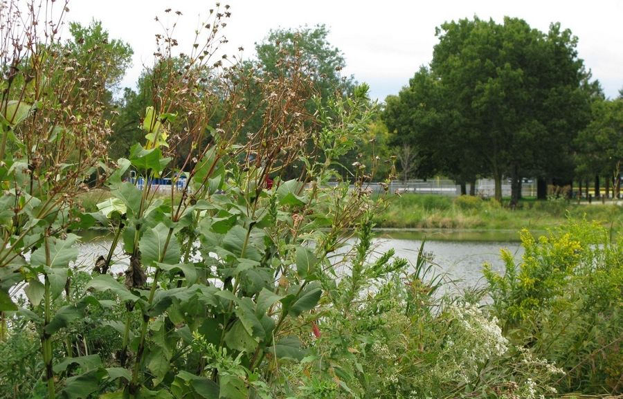 Native plants installed as part of a long-sought restoration at Butler Lake in Libertyville obscure a lagoon at Butler Lake Park north of Lake Street.