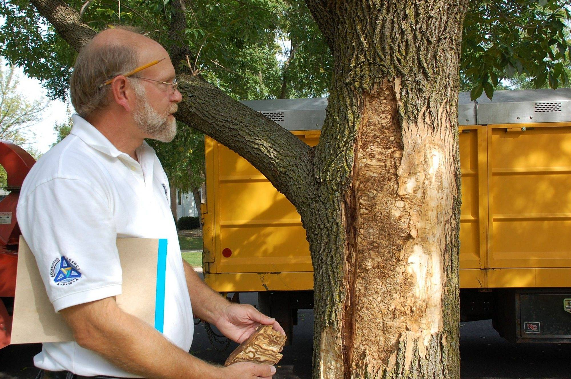 Jack Mitz, Naperville city forester, peels away bark and discovers the telltale serpentine tunnels dug by the Emerald Ash Borer. Infested trees must come down within 10 days and be disposed of under specific guidelines.