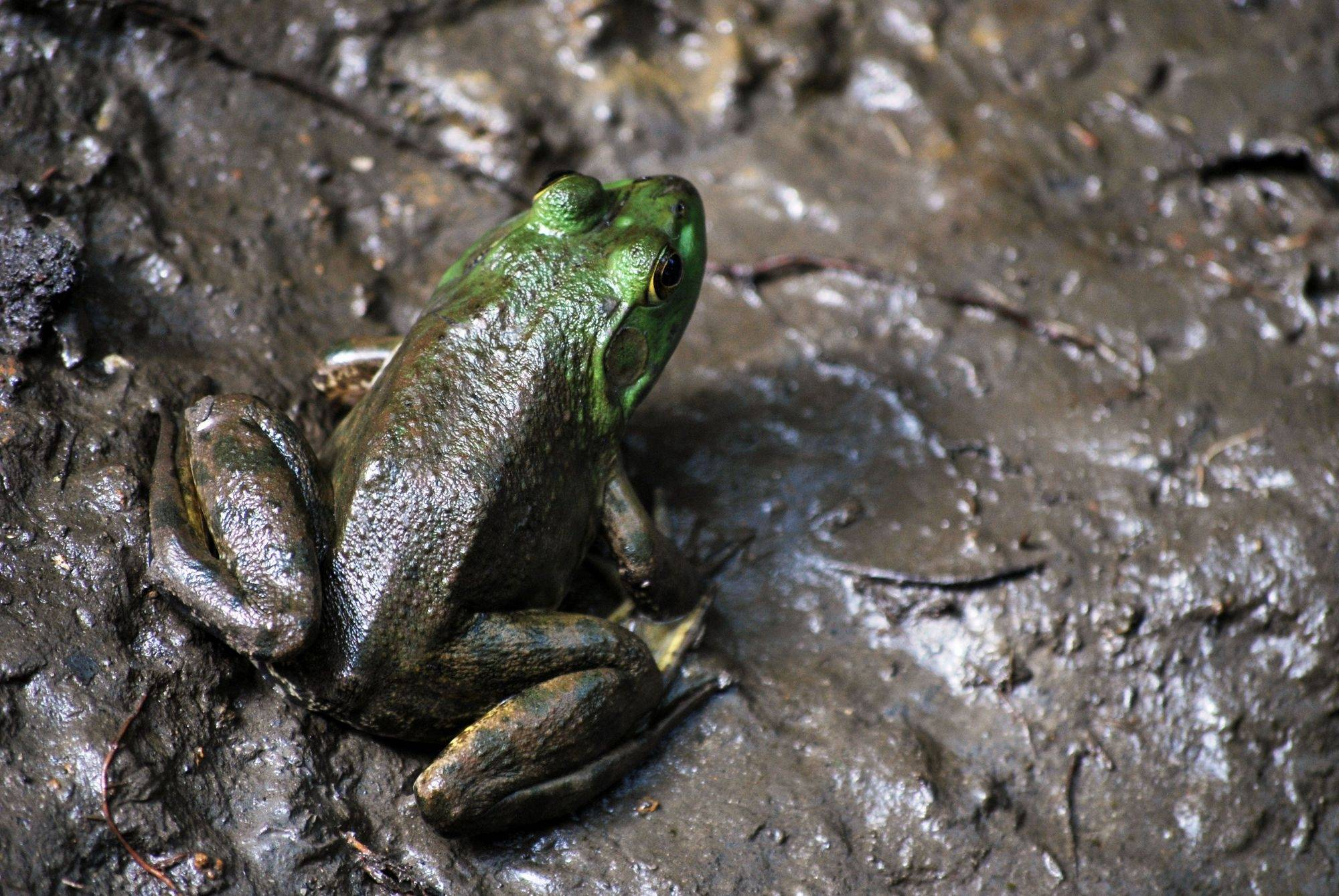 A small frog suns itself while in muddy surroundings at the Spring Valley Nature Center in Schaumburg.