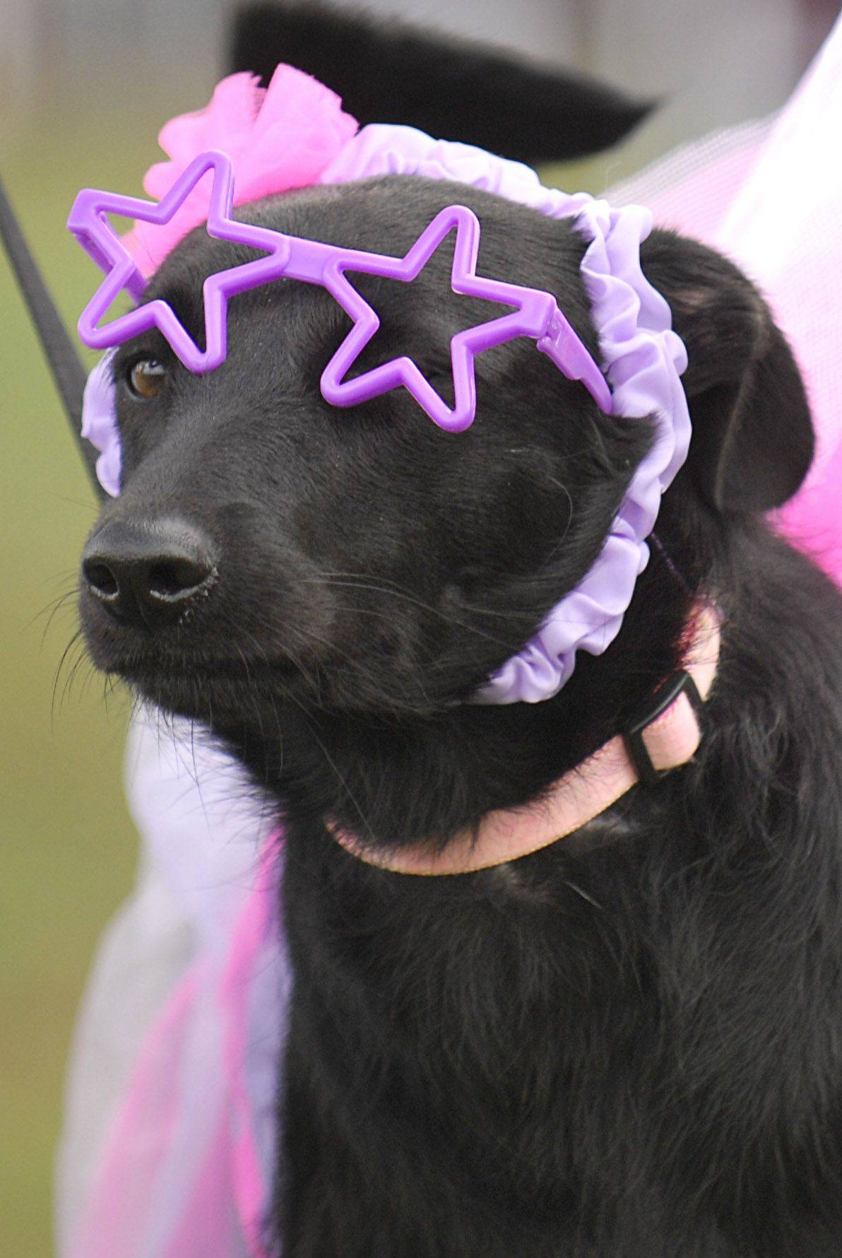 Sara enjoys wearing her glasses, says owner Jaki Herrmann, 13, of Plato Center. Sara was dressed up as a fairy with star glasses for the pet parade at the second-annual Dog-tober Fest at Deicke Park in Huntley on Saturday, October 2.