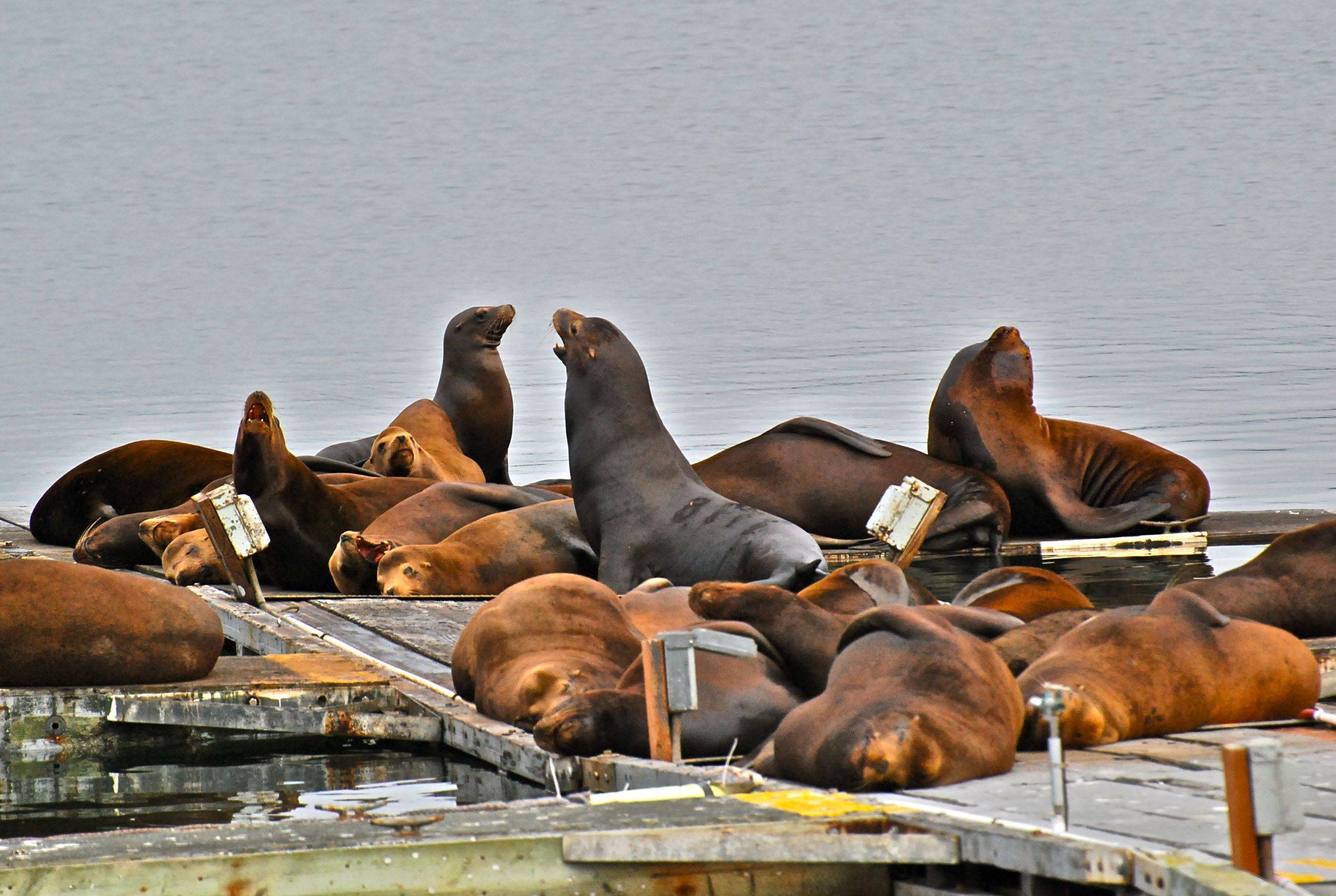 These sea lions had taken over a public dock in the working harbor of Crescent City, CA. The marine mammal act doesn't let anyone chase them away. They made a lot of noise, but basically just laid around.