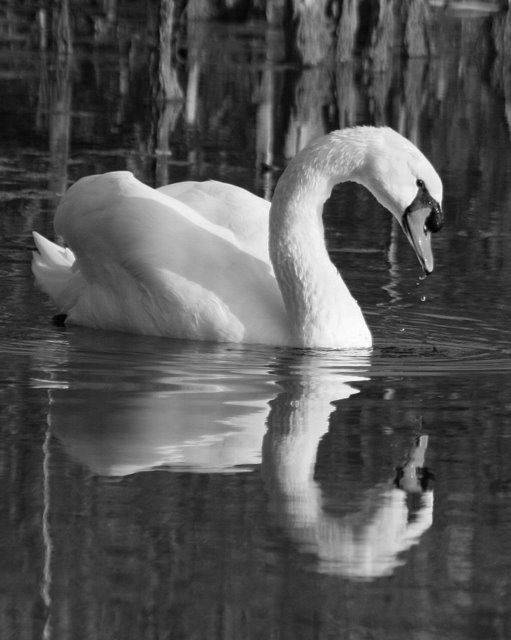I was going through some pictures I had taken last year and ran across this swan picture which I liked very much. I converted it from color to black and white. I think it makes the reflections stand out more and also helps show off the swan's eye looking at you as well as the drops of water dripping from it's mouth.