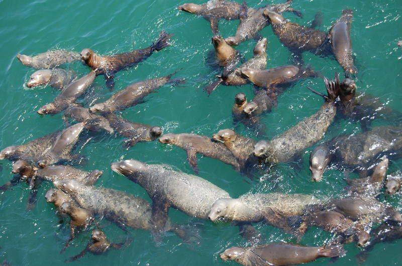 A pod of seals swim at Santa Cruz Whorf in San Francisco.