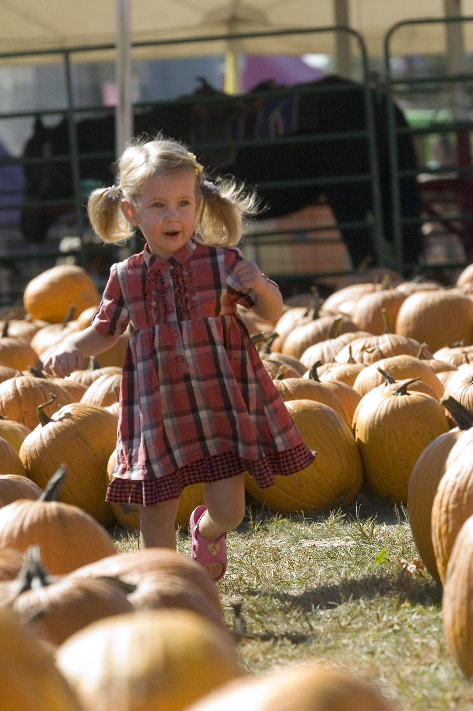 Kendall Pemberton of Elgin, 2, runs through the pumpkin patch at Randy's Vegetables in Elgin Sunday morning. Her family has traditionally picked out their pumpkins from Randy's for the last 10 years.