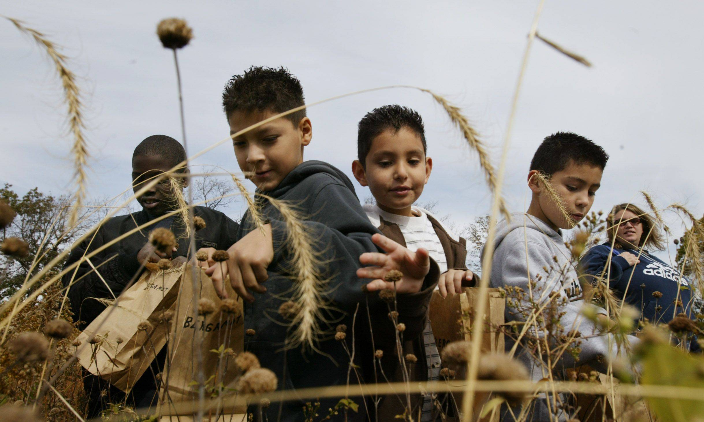 Perry Elementary third-graders Solomon Payton, left, Alex Rivas, Vanancio Mejia and Alexis Garcia reach for bergamot seeds Tuesday as they work with Dundee-Crown honors environmental research students to gather prairie seeds at Snuffy's Prairie in Carpentersville.