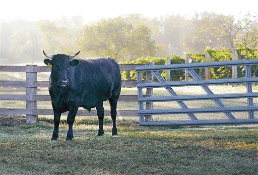 An American Wagyu cow stands near the vineyard at Terry Neuner's farm  in Westphalia.