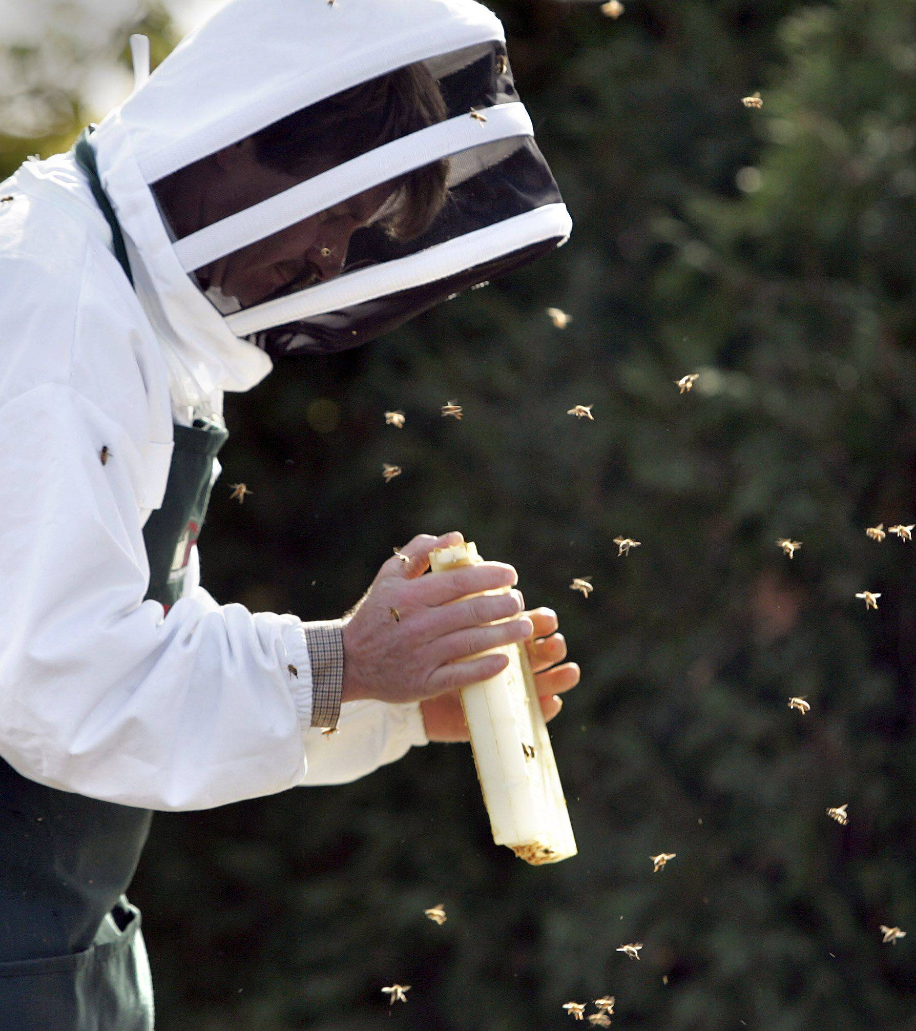 Beekeeper Greg Fischer shakes honey bees from their comb as he harvests honey from the hive at Lincolnshire Marriott Resort Monday. Executive chef Joe Plucinski started the bee hives to add locally grown honey to their menu items.
