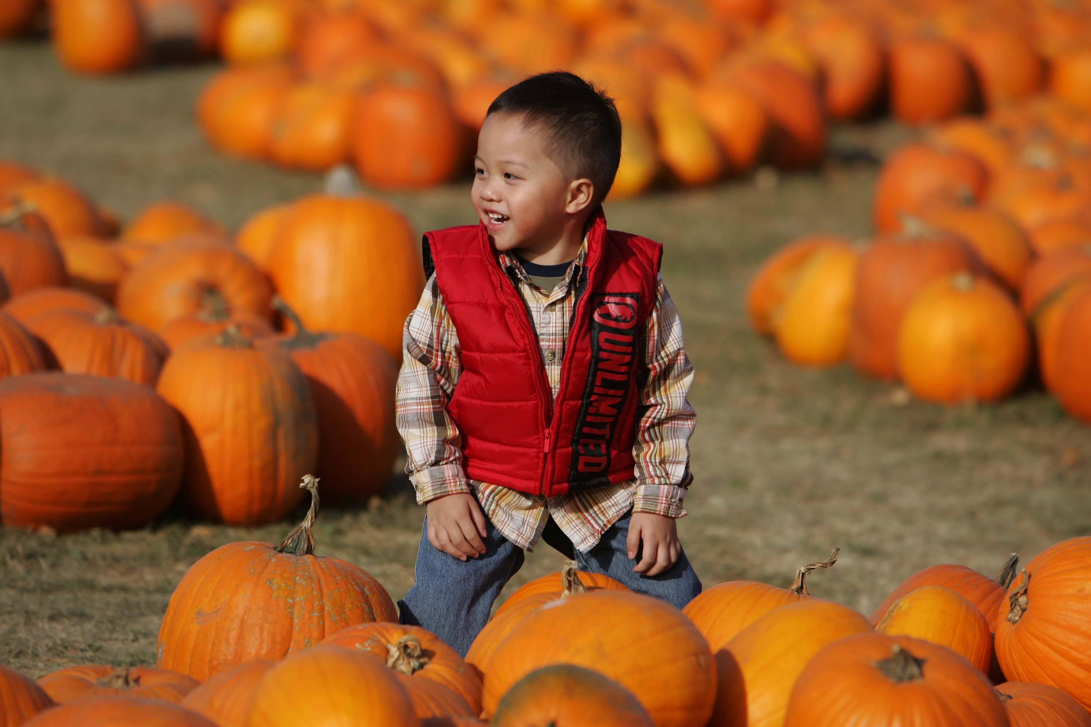 Three-year-old Nathan Sanchez of Elgin wades through a sea of pumpkins to help pick out the best one Thursday at Randy's Vegetables in Elgin.