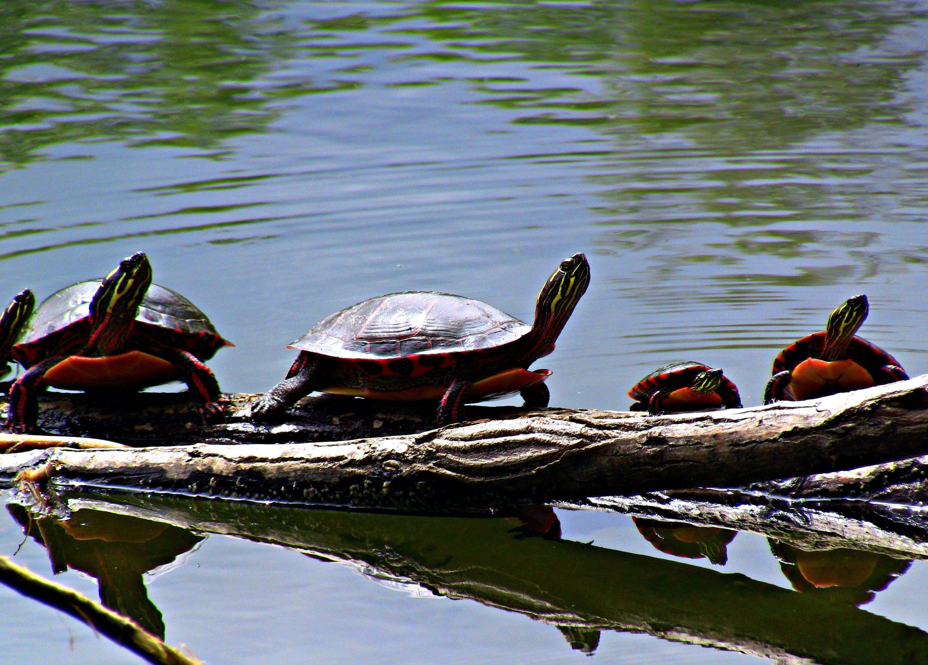 A family of turtles sunbathes on deadwood at Lakewood Forest Preserve last May.