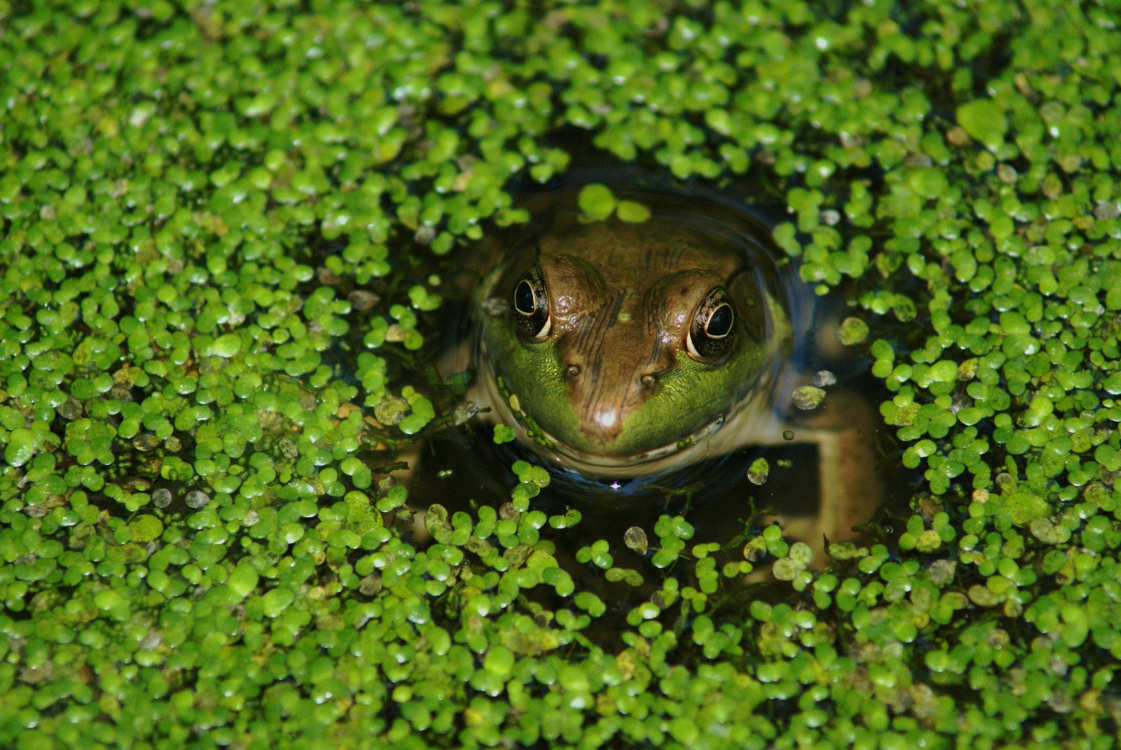 A frog peeks his head through the algae at Crabtree Nature Center last week