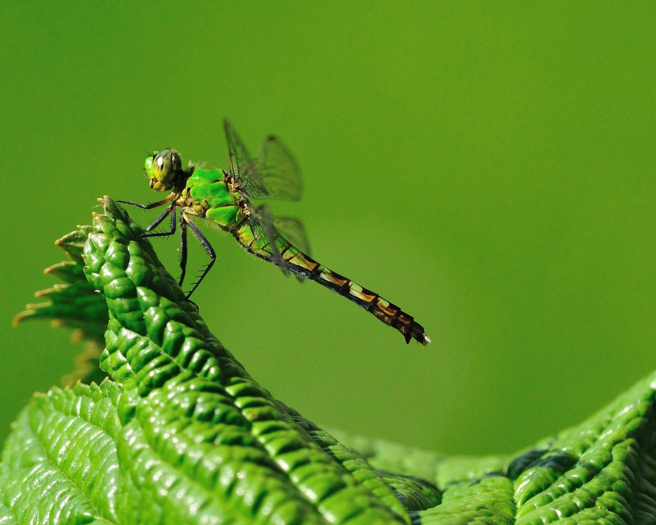 A dragonfly sits on a leaf last summer in western Illinois.
