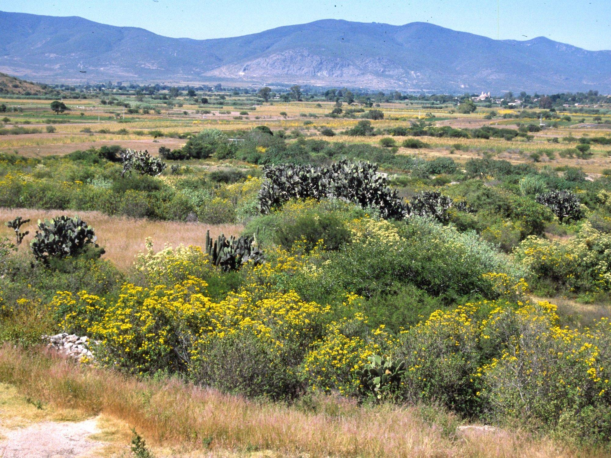 Outside Oaxaca City the shrubby Tagetes lucida can be seen in bloom.