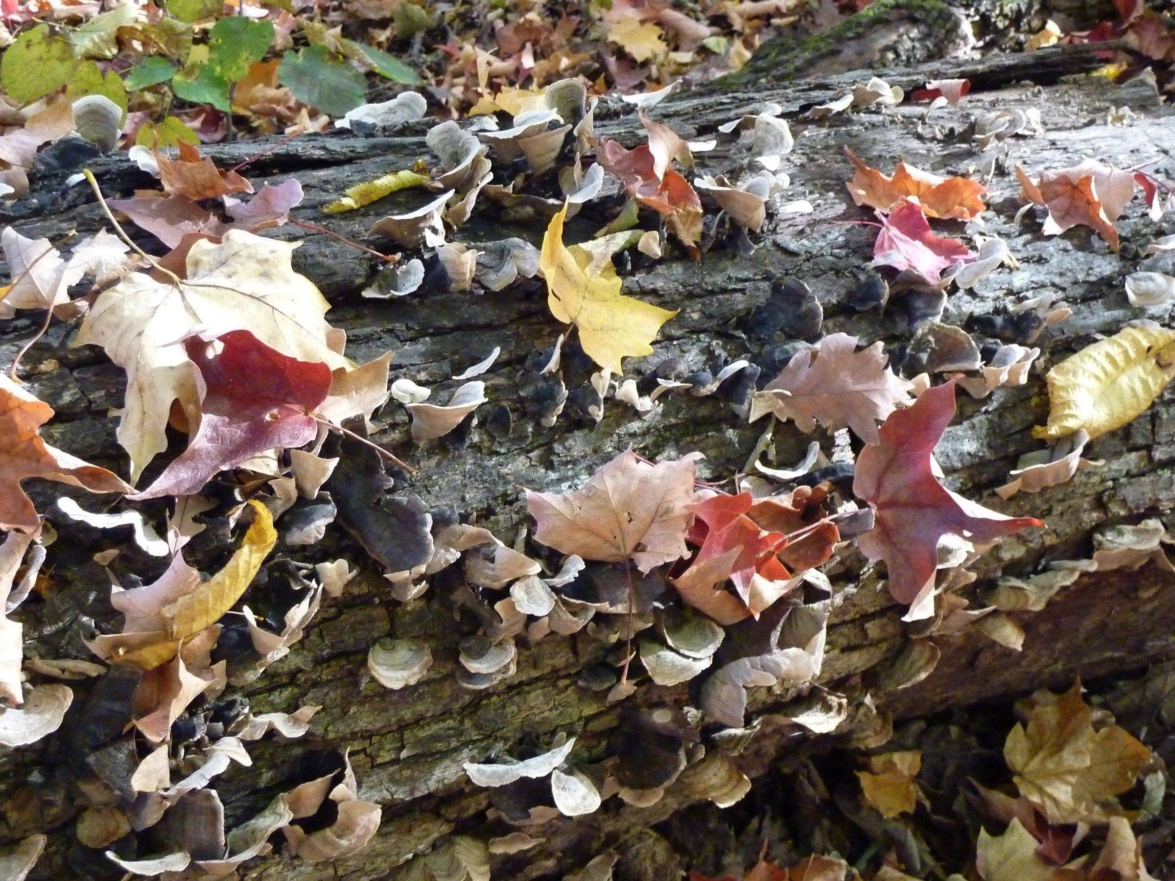 This is a colorful collection of fall leaves and fungus on a log in Meacham Grove Forest Preserve.