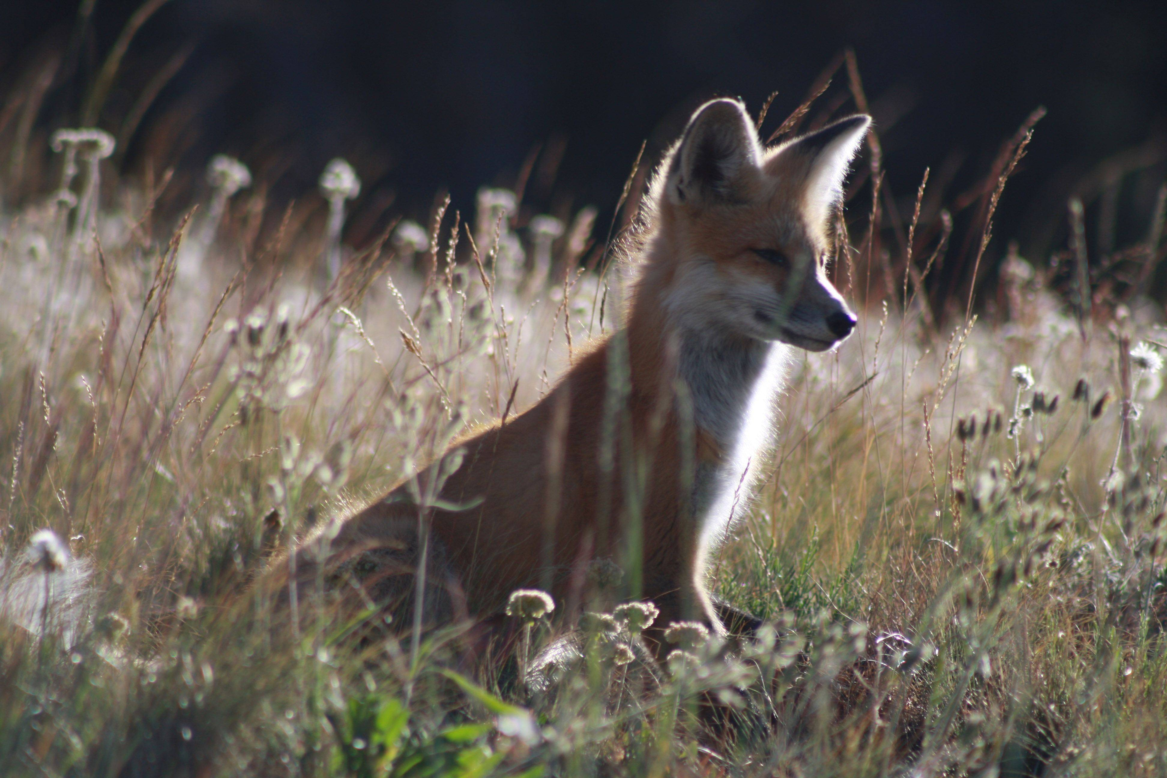 A baby fox hides in the brush on the side of Mount Washburn in Yellowstone National Park, Wyoming last August.