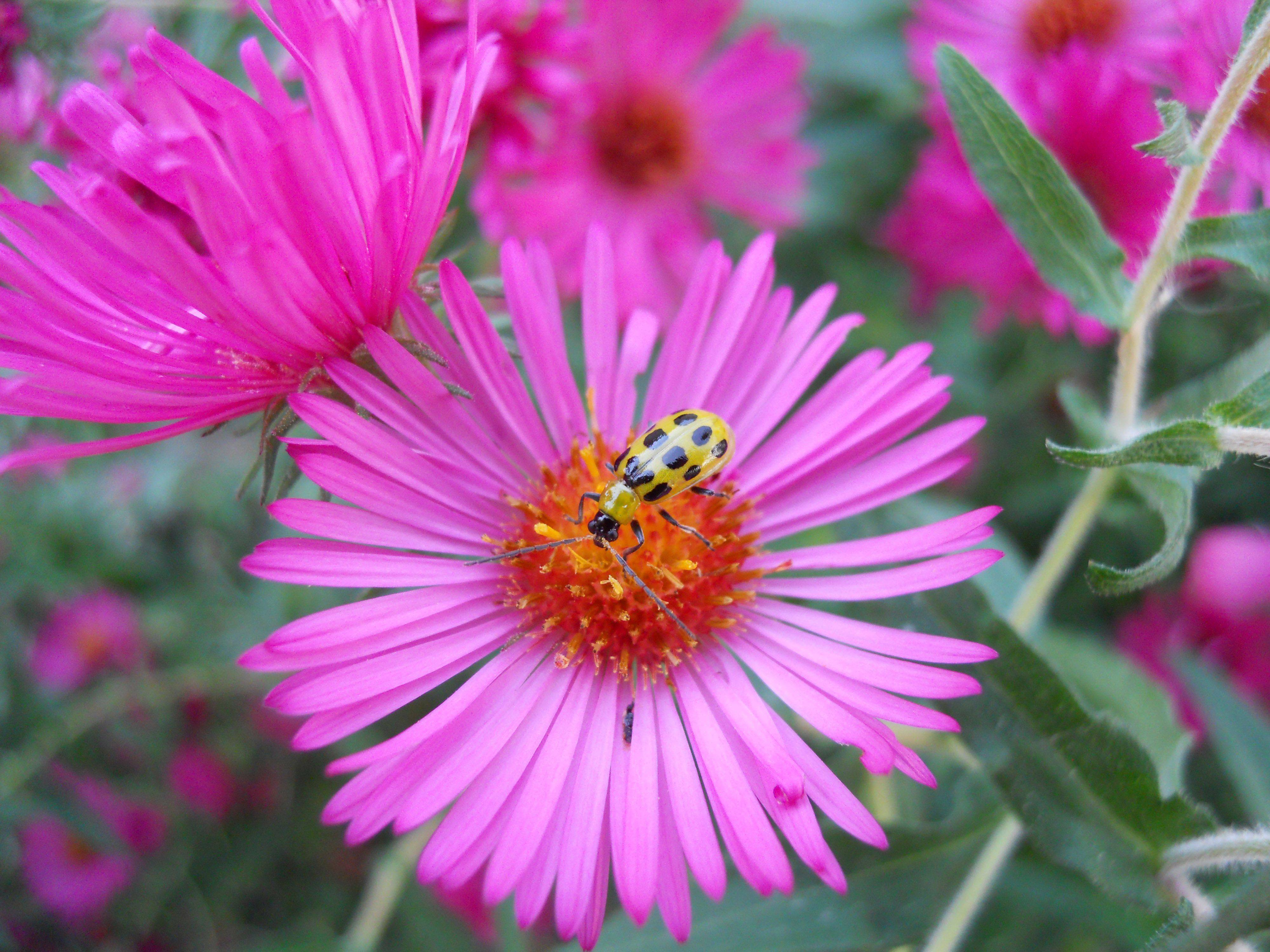 A spotted cucumber beetle on an aster flower in a garden in Elk Grove Village last month.