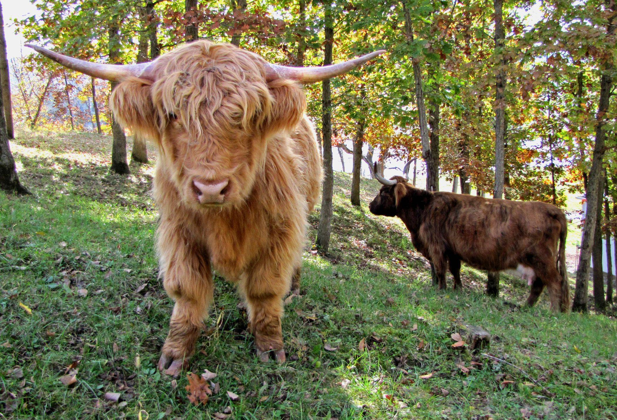 We came across this Highland steer on a beautiful fall day near the Mississippi River. This breed on cattle is from the Highlands of Scotland and I have never seen it before. He was as curious of me as I was of him.
