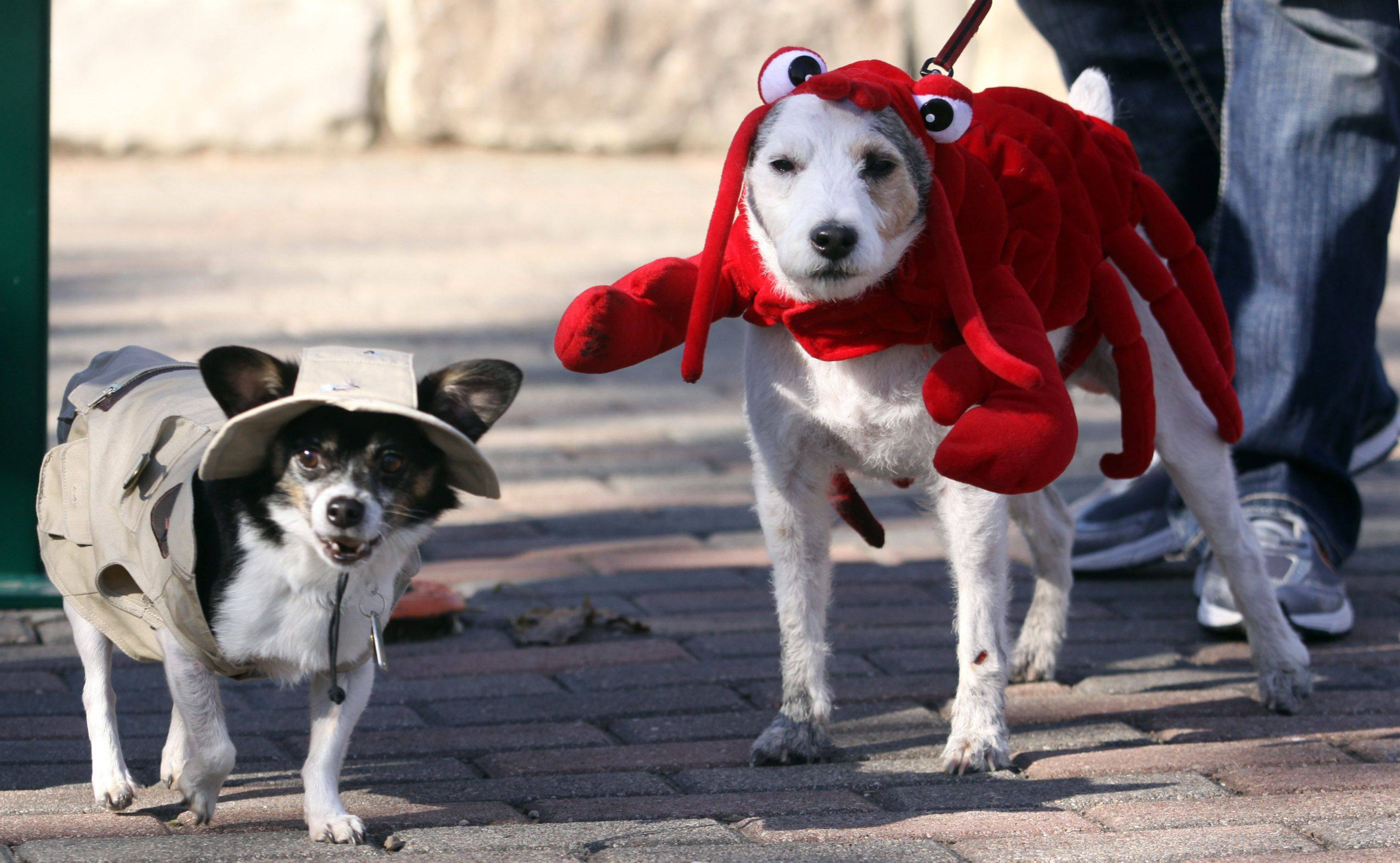 Rudy the chihuahua mix, left, and Owen the jack russell terrier, right, don costumes dressed as a fisherman and his lobster during the Howl-o-Ween Pet Parade event at Peck Farm Park in Geneva on Saturday. The two dogs are owned by Molly and Kevin Conner of Elgin.