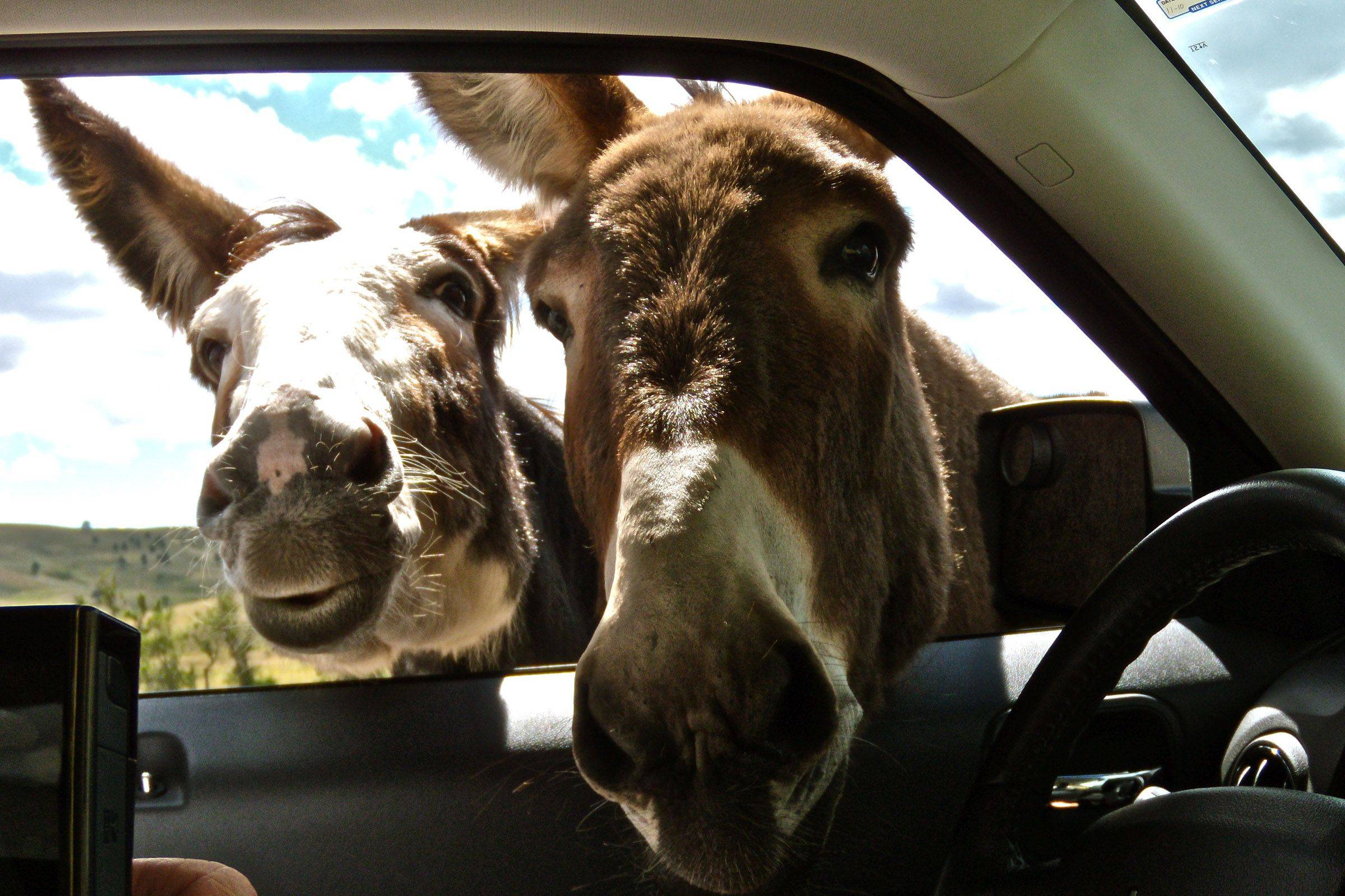 The burros in Custer State Park South Dakota know who has apple slices for them. Getting the burros out of the car is the fun part.
