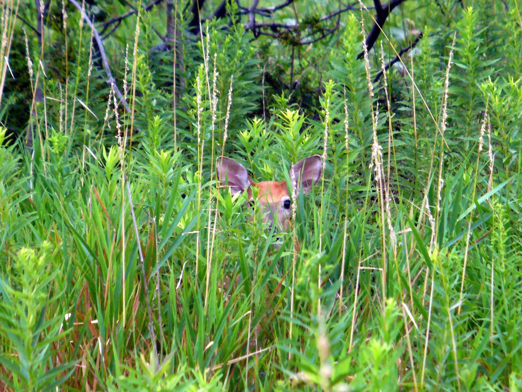 A deer peeks out from behind the brush at Rollins Savanna Forest Preserve in Grayslake.