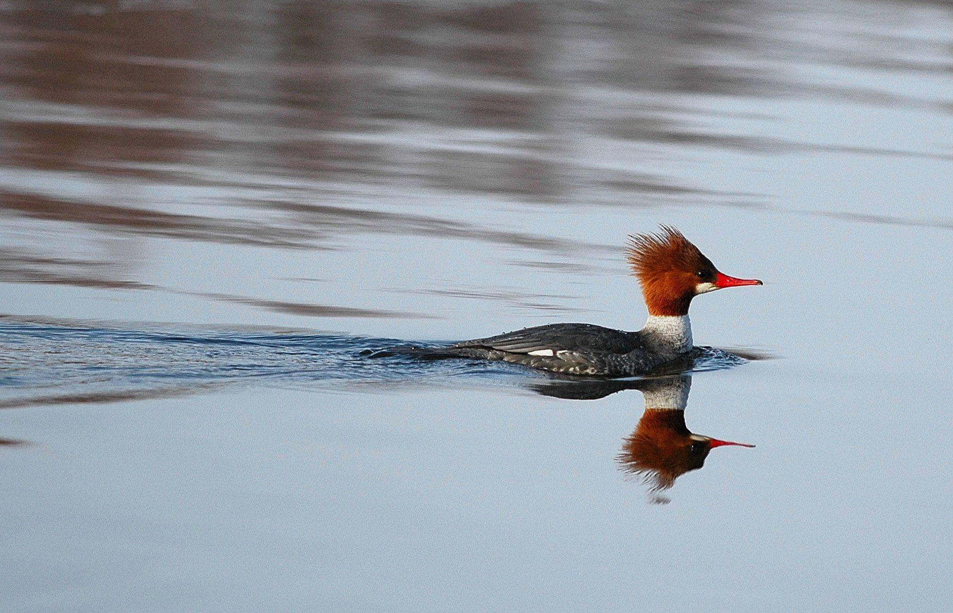 A common merganser hen swims down the Fox River in late March of 2008.