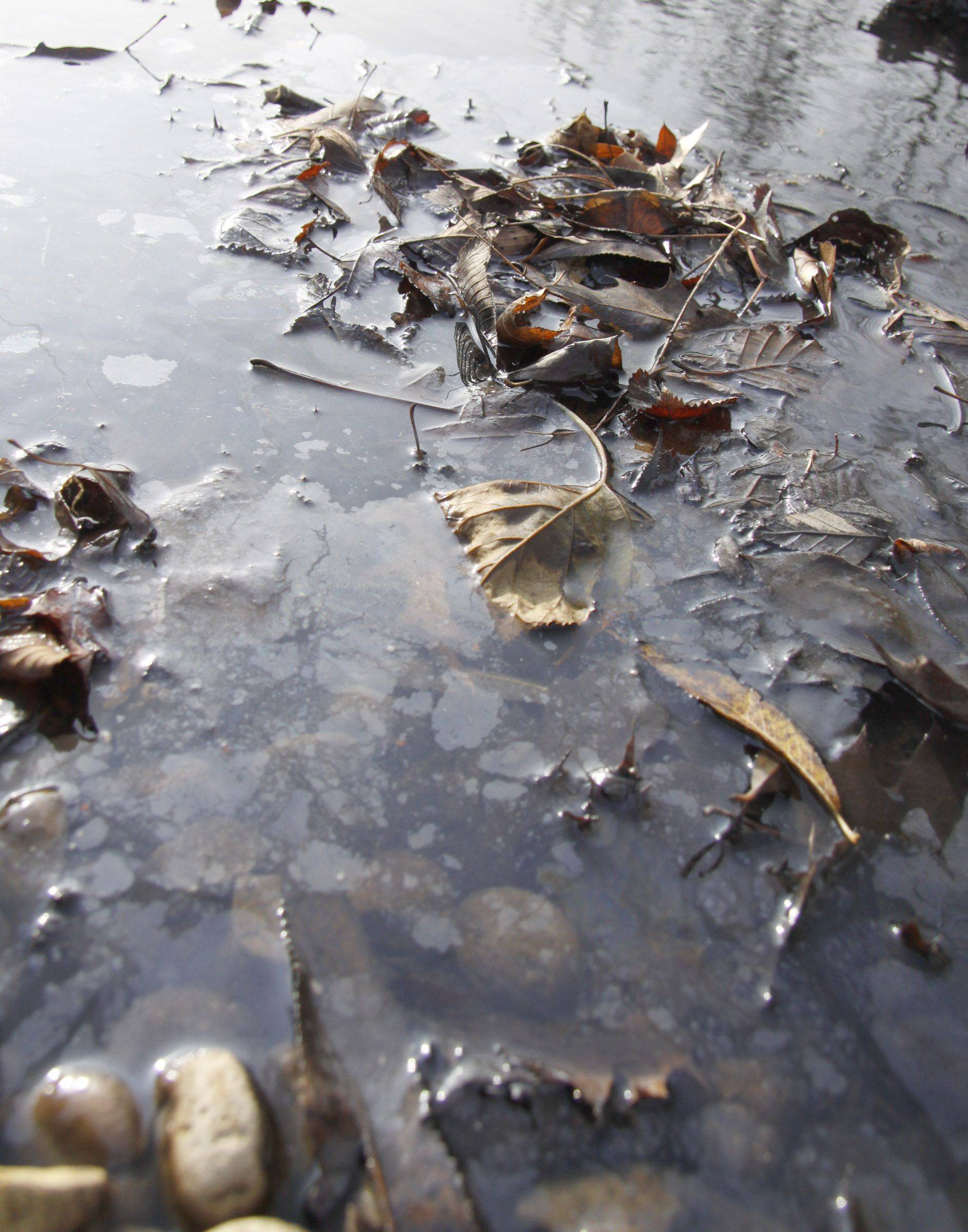 Leaves that appear to be coated with a substance float atop the water at Lombard Lagoon.
